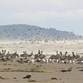 Pelicans And Gulls by Pamela Patch
