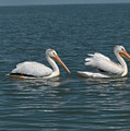Pelicans by Andrea Lawrence
