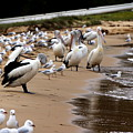Pelicans At Pearl Beach 1.0 by Giro  Tavitian