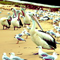 Pelicans At Pearl Beach 4.1 by Giro  Tavitian