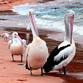 Pelicans At Pearl Beach 5.2 by Giro  Tavitian