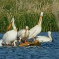 Pelicans Being Pelicans by Curtis Tilleraas
