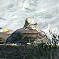 Pelicans by Brian Wissinger