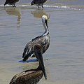 Pelicans Enjoying The Day At Playa Manzanillo by James Connor