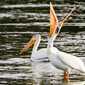 Pelicans Fishing by John Trax