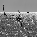 Pelicans Flying By - Black And White by Bob Slitzan