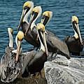 Pelicans Fort Pierce, Fl. Jetty by Colleen Fox