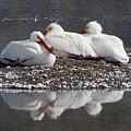 Pelicans by Gary Beeler