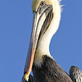 Pelican's Good Side by Jim Clark