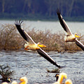 Pelicans In Flight by Carl Purcell