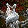 Pelicans by Ingrid Dendievel