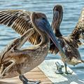 Pelicans Of Lantana by Wolfgang Stocker