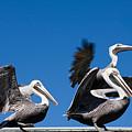 Pelicans Take Flight by Mal Bray