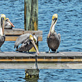 Pelicans Waiting For Their Ship To Come In by Bob Slitzan