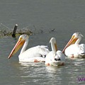 Pelicans by Wendy Fox