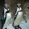 Penguin Duo by Sara  Raber