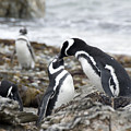 Penguin Love by Charles  Ridgway