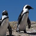 Penguins by Vijay Sharon Govender