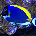 Blue Tang Fish  by Kathy M Krause