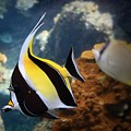 Pennant Coralfish by DJ Florek