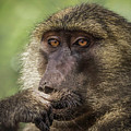 Pensive Baboon by Teresa Wilson