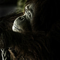 Pensive Orang Utan by Sheila Smart Fine Art Photography