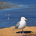 Pensive Seagull by Catherine Reusch Daley