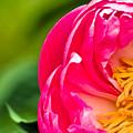 Peonie Flower by Karen Lewis