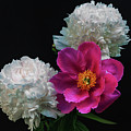 Peonies - Beautiful Flowers - On The Right Is One Of The First Places Among The Garden Perennials by George Westermak