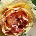 peony 19 Pale Yellow and Pink Tree Peony macro by Terri Winkler