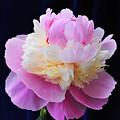 peony 5 Double Light Pink Peony III by Terri Winkler