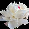 peony 6 Double White Peony I by Terri Winkler
