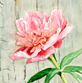 Peony At The Fence by Audrey Jeanne Roberts