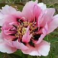 Peony by Christiane Schulze Art And Photography