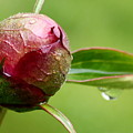 Peony Impersonates Cabbage by Annie Babineau