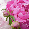Peony Pair In Pink And White  by Regina Geoghan