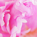 Peony Petals by Mike Valdez