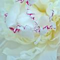 Peony Petals by Nancy Aurand-Humpf