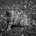 Pepper Cat by Patrick M Lynch