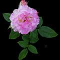 Peppermint Rose1 Cutout by Shirley Heyn