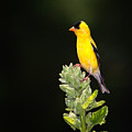 Perched American Goldfinch by Al  Mueller