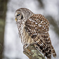 Perched Barred Owl by Paul Freidlund