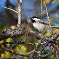 Perched Black-capped Chickadee by Al  Mueller