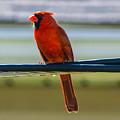 Perched Cardinal by Robert Edgar