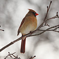 Perched Female Red Cardinal by Debbie Oppermann