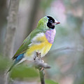Perched Gouldian Finch by Glennis Siverson