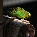 Perched Parakeet by Marilyn Hunt