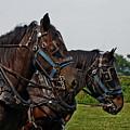 Percheron Draft Horses 4646 H_2 by Steven Ward