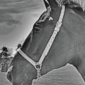 Percheron Profile by Al Bourassa