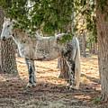 Percheron Standard Breed by George Hunt Jr